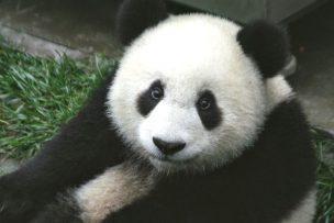 パンダ 中国語
